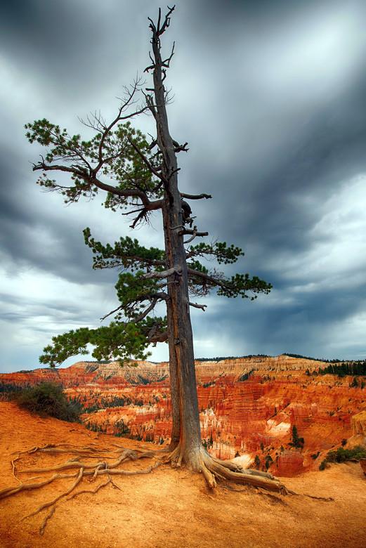 Bryce  - Deze boom stond er erg alleen bij in het geweldige landschap van Bryce