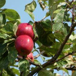 tweeling appels