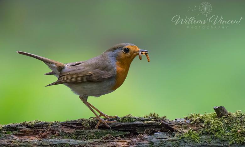 Robin - Het roodborstje(Robin) (Erithacus rubecula).