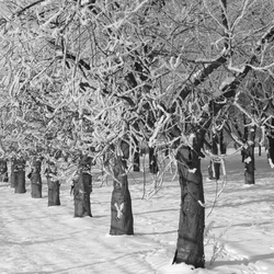 Boomgaard vol met  sneeuw