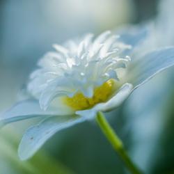 anemoon met een sprankje zon