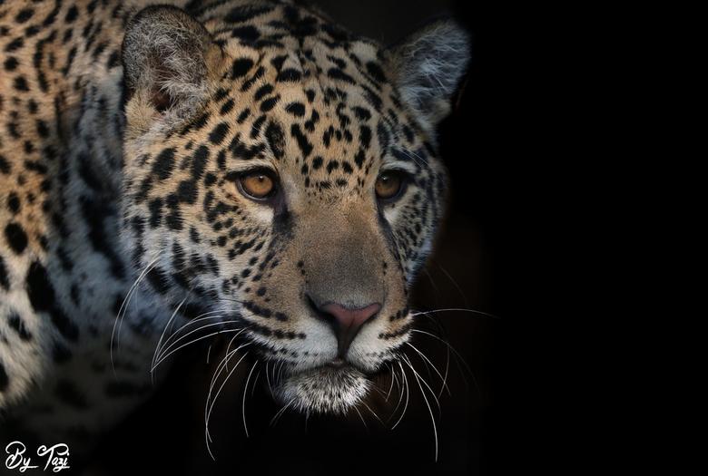 """Into the light... - Prachtige jonge jaguar. Zo fotogeniek... Daar kan ik een hele dag bij staan. <img  src=""""/images/smileys/smile-big.png""""/>"""