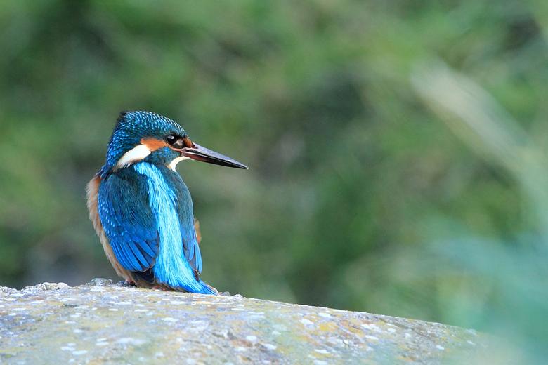 """IJsvogel - Gisteren zag ik deze IJsvogel al een aantal keer over het water """"flitsen"""", ben een poosje met de auto langs de kant van de weg ga"""