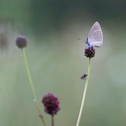 pimpernelblauwtje met vlieg