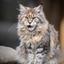 leeuwin de Maine Coon