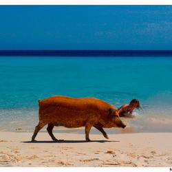 Pig in blue