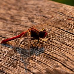 Rode libelle 2