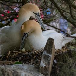 Twee Jan van Genten op een nest