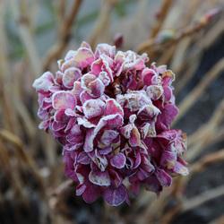 Bevroren hortensia