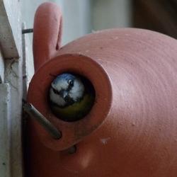 Pimpelmees verlaat het nest