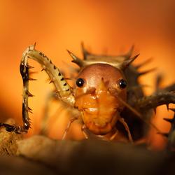 Thorny Cricket