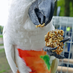 Mijn Witkuifkaketoe Maxi bij papegaaienwandeling Barneveld, 7-5-2017.