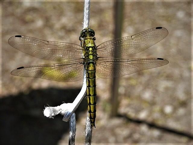 Even opwarmen. - Deze beekrombout libelle zat op de scheerlijn van onze voortent.