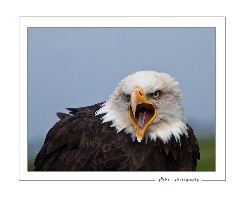 Zeg eens Aaa.... - Tijdens de roofvogelshoot was deze zeearend toch wel mijn favoriet. Hij was het niet echt eens met mijn voorstel om een foto te mak