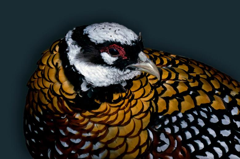 Reeves's Pheasant  - Syrmaticus reevesii