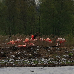 Flamingo's in het Zwillbrockervenn.