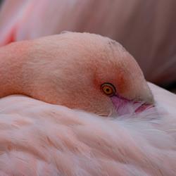 Flamingo Close-up