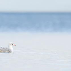 Kokmeeuw zwemmend in het Ijsselmeer