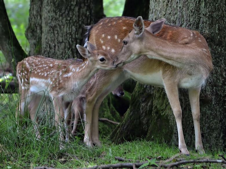 Lief... - Foto genomen in het hochwildschutzpark Hunsrück in Duitsland...<br /> Herten lopen daar vrij rond in een groot gebied...<br /> Deze hertje