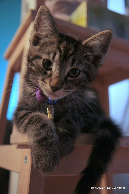 The perfect kitty - Een paar weken oud en nu al geweldig mooi poseren op z&#039;n trapje en maar aandachtig in die grote lens naar de shutter kijken <