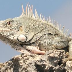 leguaan aan de noordkust van Curacao