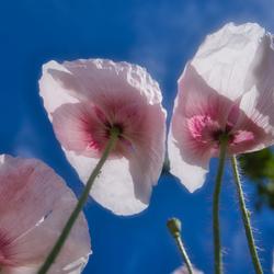 Klaproos  roze