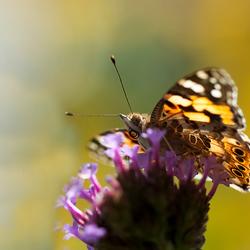 distelvlinder Verbena