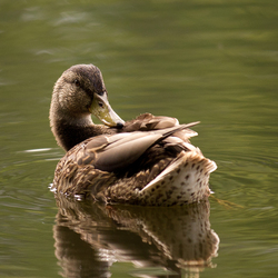 Just a duck...