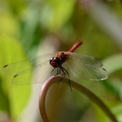 Macrofoto libelle