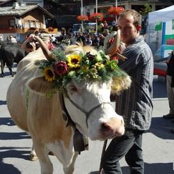Koeien weer op stal in Grachen