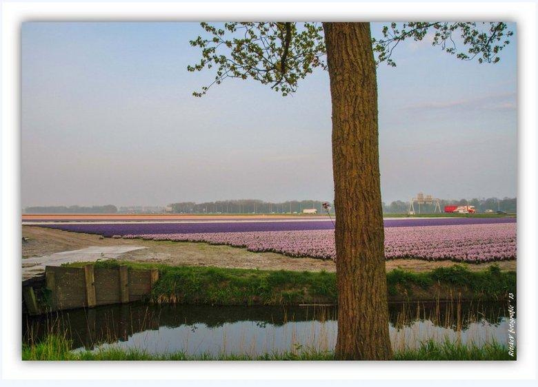 bollenvelden Boekelermeer - 's morgensvroeg in de ochtendnevel de bollenvelden in de Boekelermeer tussen Heiloo en Alkmaar