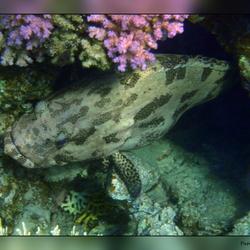 Het leven in de rode zee : Marbled grouper