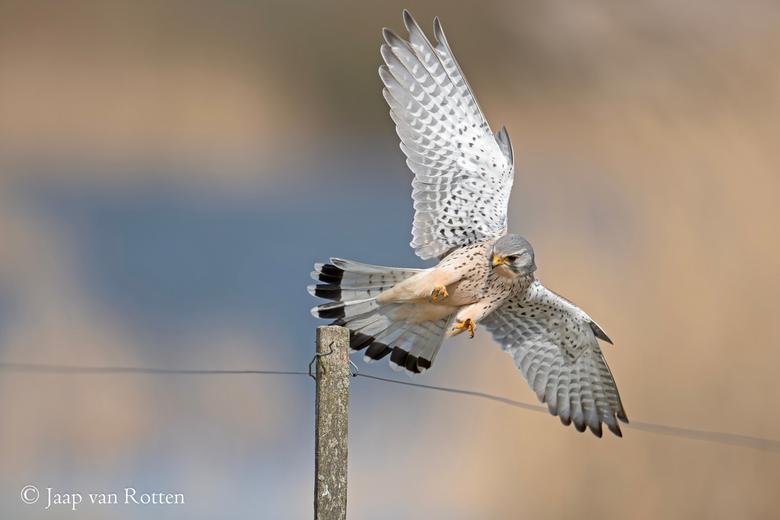 met gefocuste blik - Bij een stevige wind is een landing op een paal een hele uitdaging voor deze torenvalk, een scherpte focus is nodig.