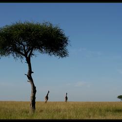 Giraffen in de Masai Mara