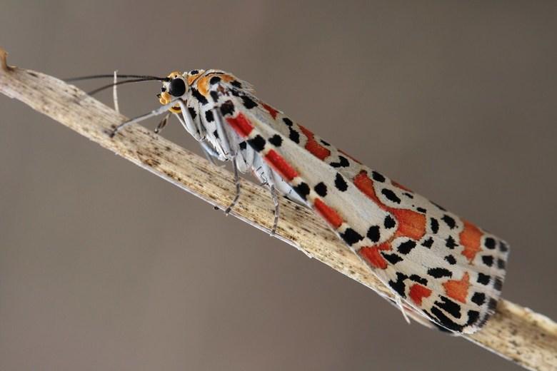 Prachtbeer - Deze nachtvlinder is voor Nederland zeldzaam, maar in Spanje zijn ze er nog volop(Costa del Sol)<br /> Een mooie nachtvlinder, die overd