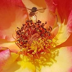 Roos met zweefvlieg