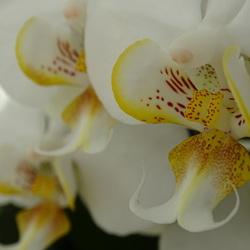 Het hart van een orchidee