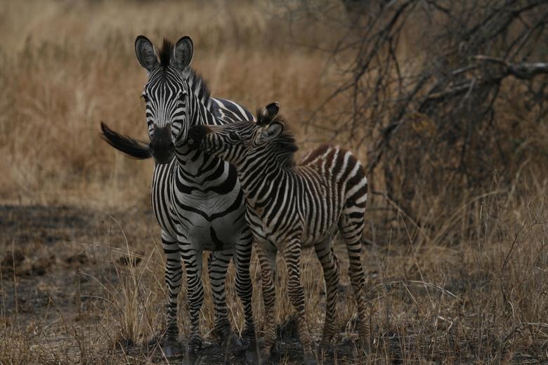 Zebra met jong -