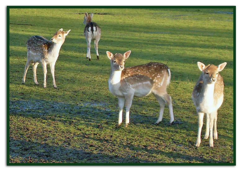 Nieuwsgierige Aagjes - De (of het) ree (Capreolus capreolus) is een klein, algemeen soort hert dat voornamelijk in Europa voorkomt. <br /> De ree hee