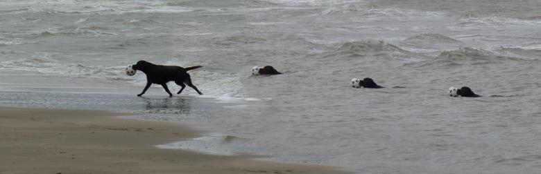 Spelen met je vrienden - Ook honden kunnen zo genieten van het strand en het water. Deze Labrador haalde de bal uit het water. Maar door de stroming h