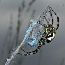 wespspin met azuurjuffer
