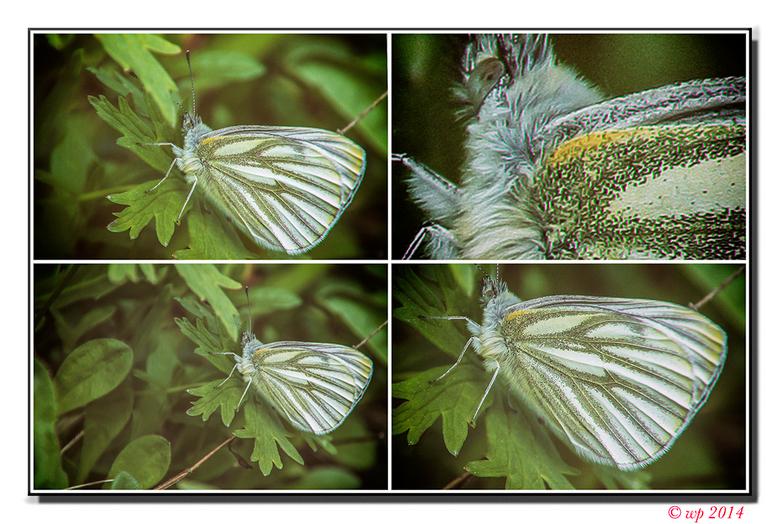 Vlinder - Dat het een vlinder is weet ik vrij zeker, maar welke...? Een vierluik mee gemaakt m.b.v. Nik, zodat een kenner er misschien nog een nadere