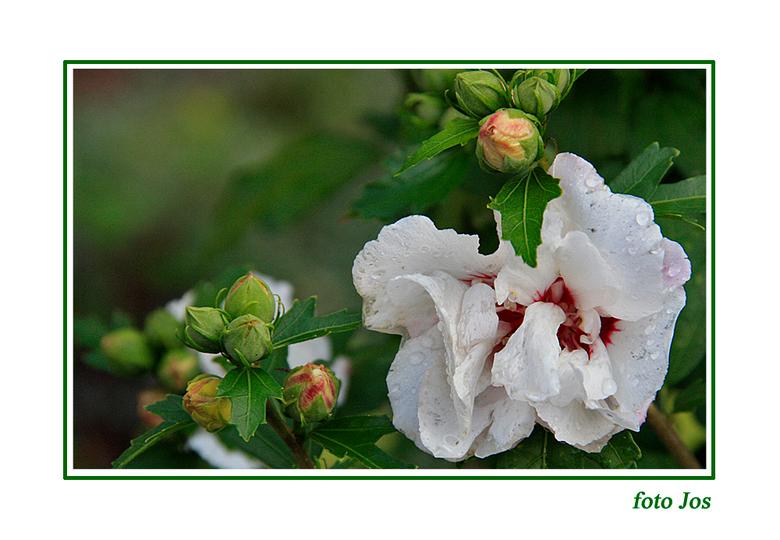 Hibiscus na regen - Deze hibiscus staat in mijn tuin mooi te bloeien en heeft ook nog veel knoppen. Net na een regenbui zijn de druppels nog zichtbaar