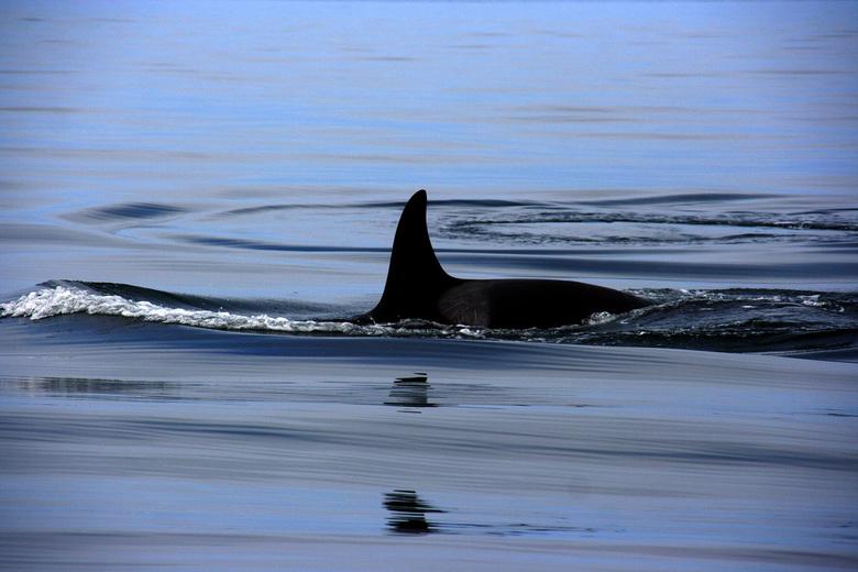 Orka - Orka voor de kust van Vancouver island