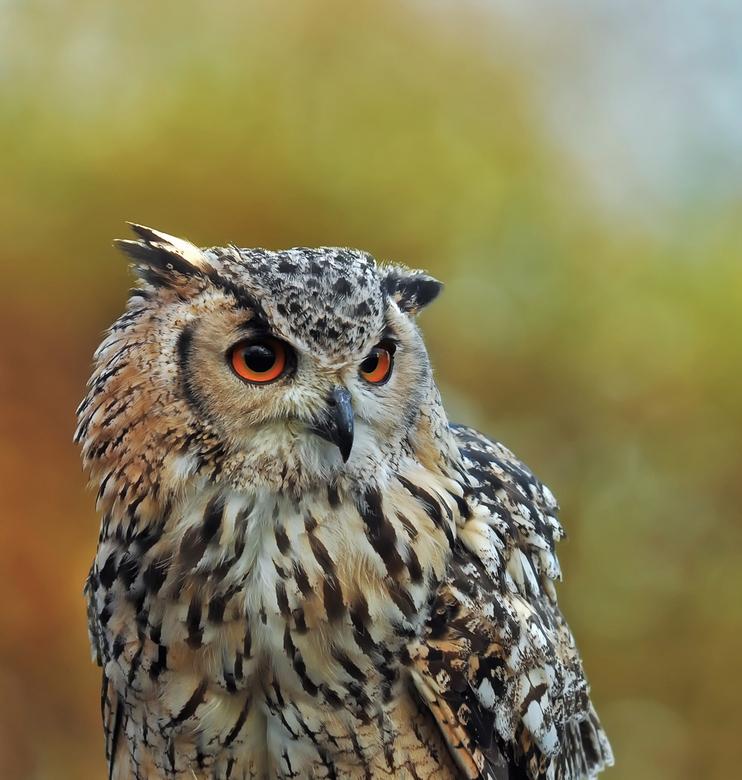 Meneer de uil - Laaste uit de serie portretten roofvogels.<br /> Fijn, zonnig en droog weekend, Djurre