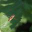 zweefvlieg hangend in de lucht