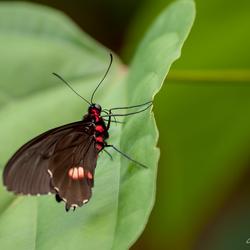 Papilio Anchisiades