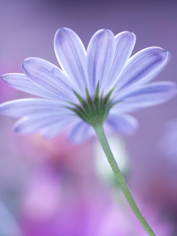 Soft pastel beauty  - Soft beauty, dromerig sfeerplaatje met tegenlicht plat op de buik liggend gefotografeerd. Nul bewerking, zo uit de camera en geu
