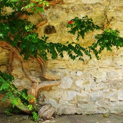 oude muur met knoestige stam