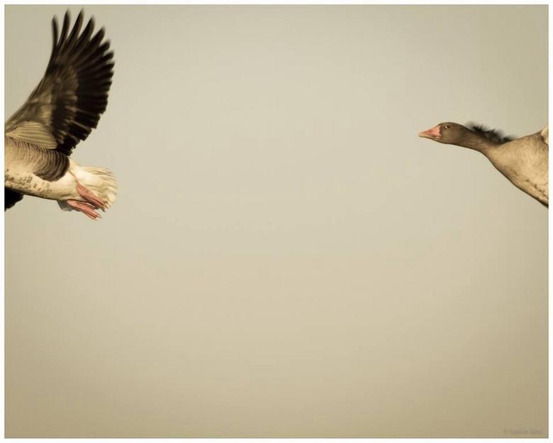 Chasing geese - Vanochtend in de Oostpolder nabij Noordlaren...